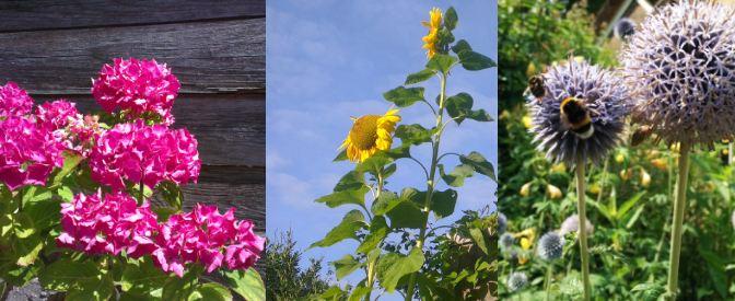 bijen-hommels-hortensia-zonnebloem-distel
