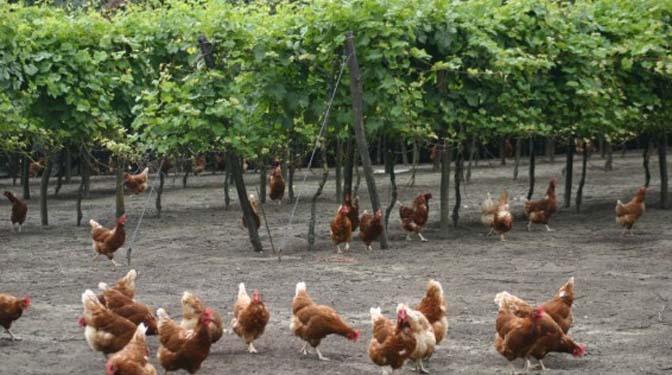 Kippenuitloop wijnrank