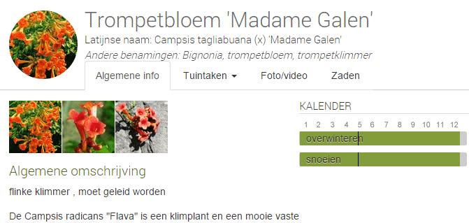 MijnTuin-Campsis-Trompetbloem