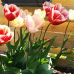 Meteen na de winter mooie bloemen? Nu bloembollen planten!