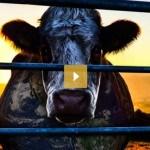 Documentaire Cowspiracy: moet je die willen zien of niet?