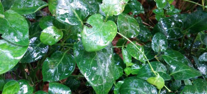 maagdenbalm-bladluis-pireco