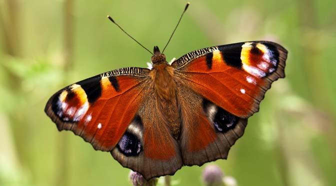 Vlinders in je tuin? Tel dit weekend mee met de tuinvlindertelling!