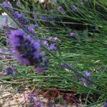 Zalig de zomer door met homemade lavendelolie
