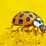 Bladluis bestrijden door lieveheersbeestjes te lokken