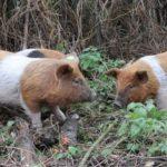 Zelf varkens houden: mijn ervaringen