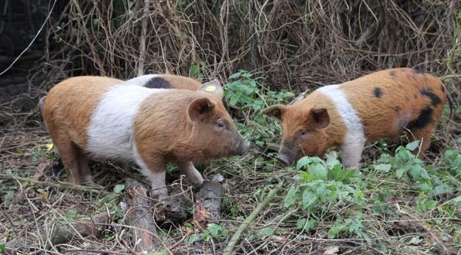 zelf-varkens-houden-1