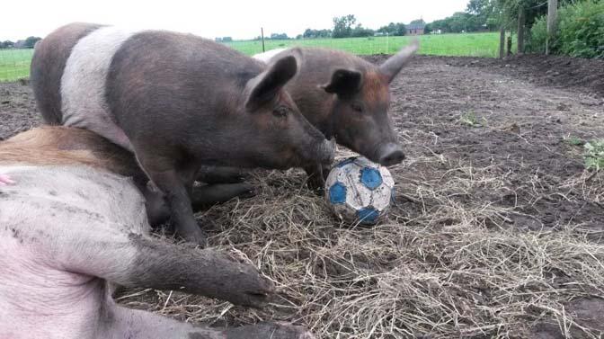 zelf-varkens-houden-2