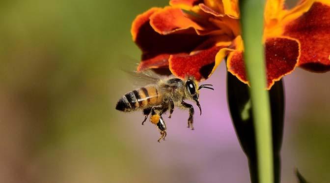 Zaterdag 22 april: zaai je mee voor de bijen op Earth Day?