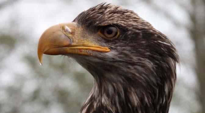 De zeearend: veruit de grootste roofvogel van Nederland