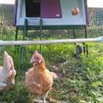 Je Eglu Cube kippenhok opleuken met een zitstok en grotere ren