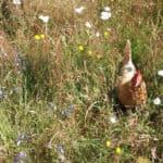 Bloedmijt bij kippen: 'bloedluis' bestrijden zonder gif